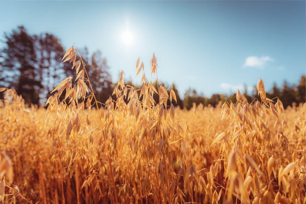 Kaurapelto auringossa
